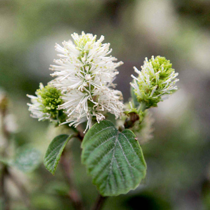 Fothergilla Gardenii Flower