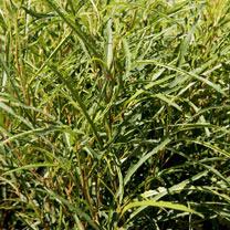 Frangula alnus Plant - Fine Line NOBLE