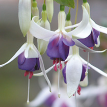 Fuchsia Plant - Delta's Sarah