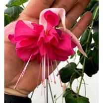 Fuchsia Plants - Giant-flowered Bella Rosella