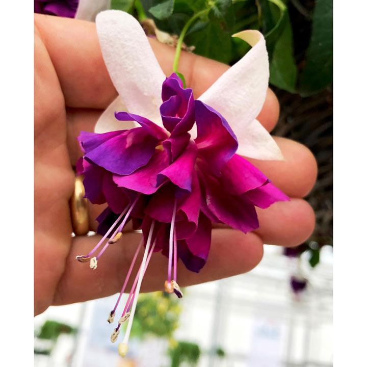 Fuchsia Plants - Giant-flowered Velvet Crush