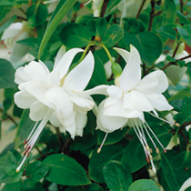 Fuchsia Trailing Plants - White General Monk