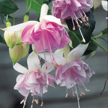 Fuchsia Plants - Giant-flowered Trailing  Holly's Beauty
