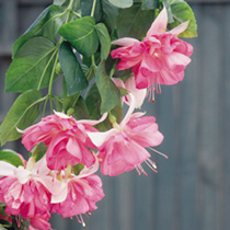 Fuchsia Plants - Giant-flowered Trailing Peachy