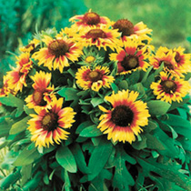 Vibrant, large, golden yellow and magenta flowers characterise this impressive variety. Plants become smothered in blooms and plants flower to the sum