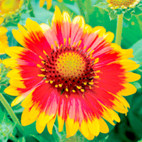 A blaze of summertime colour that thrives, whatever the weather! The glorious daisy flowers of gaillardia 'Arizona Sun produce a constant display of l