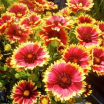 Gaillardia Plant - Sunset Cutie