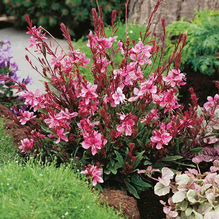 Gaura Plant - Lollipop Pink