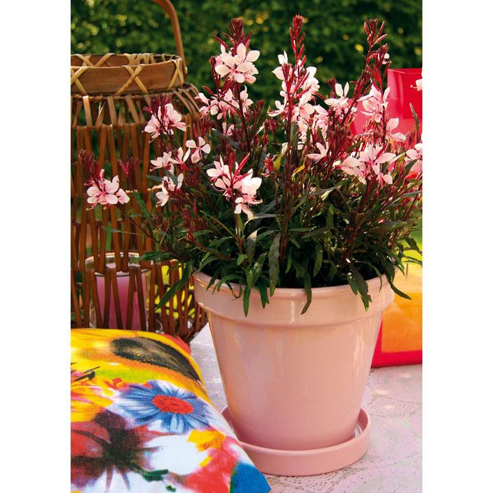 Gaura Plant - Gaudi Pink