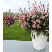 Gaura Plant - Graceful Light Pink
