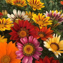 Gazania Plants - Daybreak Mix