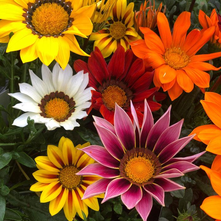 Gazania Plug Plants - Daybreak Mix