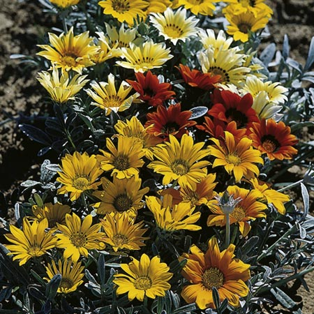 Gazania Seeds - Talent Mixed