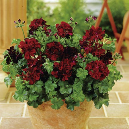 Geranium Bedding Plants - Twin Pack