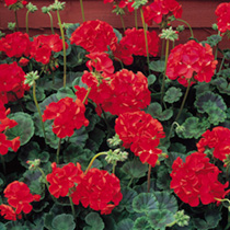 These F2 hybrids give you uniformity, vigour and prolific flowering at an unusually low price! In four colours take your pick! Height 30-38cm (12-15).