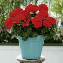 Geranium Plants - Red