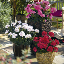Our spectacular zonal geraniums are perfect for patio containers and also make wonderful feature plants in a border producing flowers of various summe