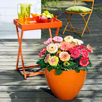 Gerbera Plug Plants - Cartwheel Strawberry Twist