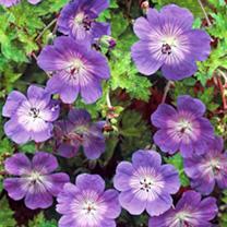 Geranium Plant - Rozanne
