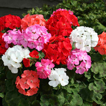 An outstanding choice for bedding or patio containers. The mixture includes all the traditional bright geranium colours, many of which also feature at