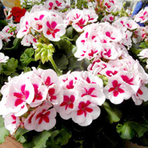 This superb new variety boasts excellent garden performance, with attractive rosy-pink and white bi-coloured flowers set off against dark green foliag