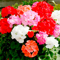 Geranium Plants - Cabaret Mixed