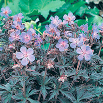 This superior dark-leaved geranium holds its outstanding colour all summer, highlighting the clusters of bright blue flowers and making it a real eye-