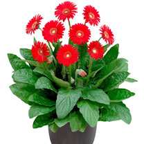 Gerbera Plants - Sweet Love