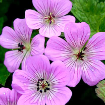 Geranium Plants - Bloomtime