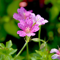 Geranium Plant - Foundlings Friend