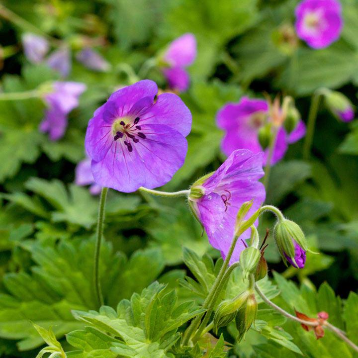 Geranium Plant - Azure Rush