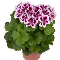 Geranium Plants - Regalia Lilac