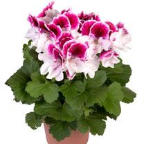 Geranium Plants - Elegance Bravo