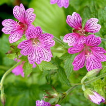 Geranium Plants - Foundlings Friend