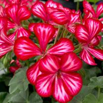 Geranium Plants - Mexica Ruby