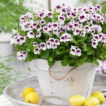 Geranium Plants - Lizzie & Eva Mosquitaway