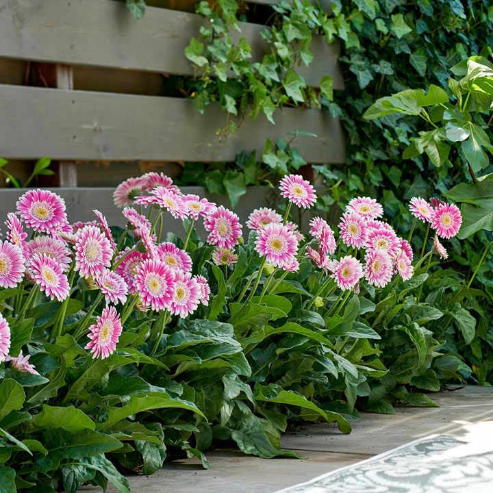 Gerbera Plant - Sweet Fiesta
