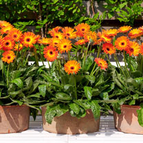 Gerbera Plants - Sweet Sunset