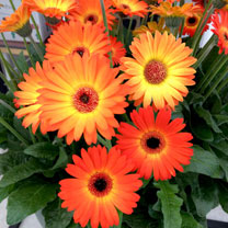 Gerbera Garvinea Plant - Sweet Sunset