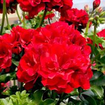 Geranium Great Balls of Fire Plants - Deep Red
