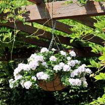 Geranium Great Balls of Fire Plants - White