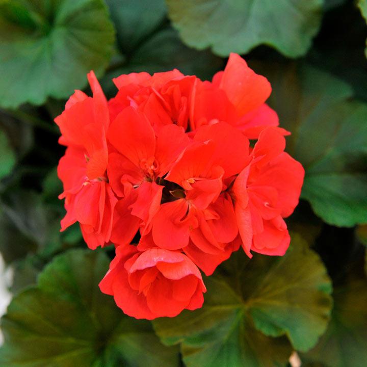 Geranium Big Ezee Plants - Neon