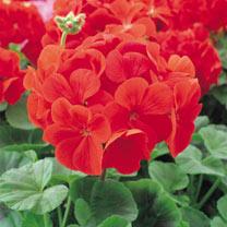 Geranium Flower Plants - Palladium Red
