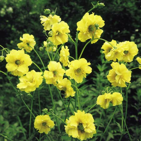 Geum Plants - Lady Stratheden