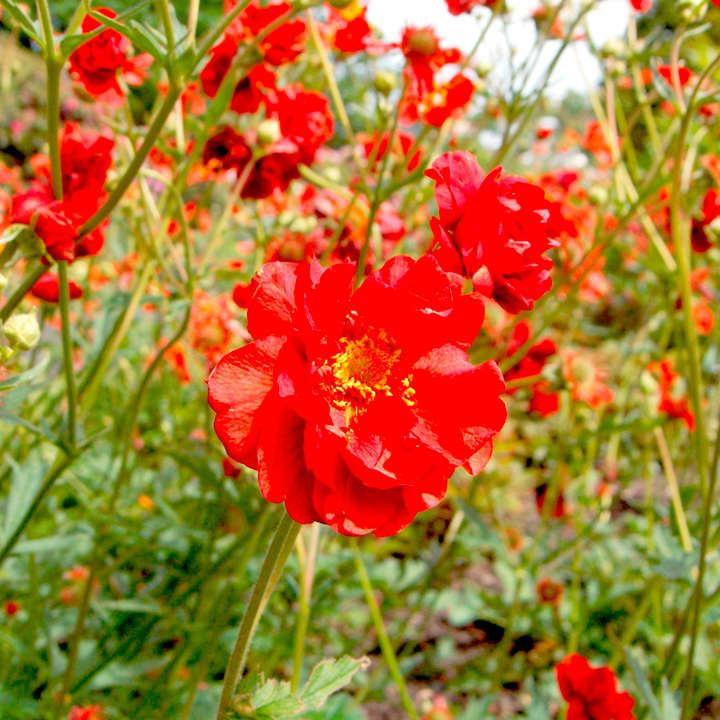 Geum Plants - Mrs Bradshaw