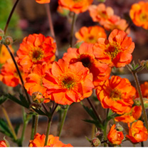 Geum Plant - Totally Tangerine