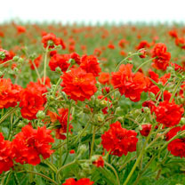 Geum Seeds - Red Dragon