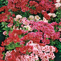 Large flowers, many of which are attractively striped or waved. Long flowering period. Exotic blooms and an economical way to fill the garden with col