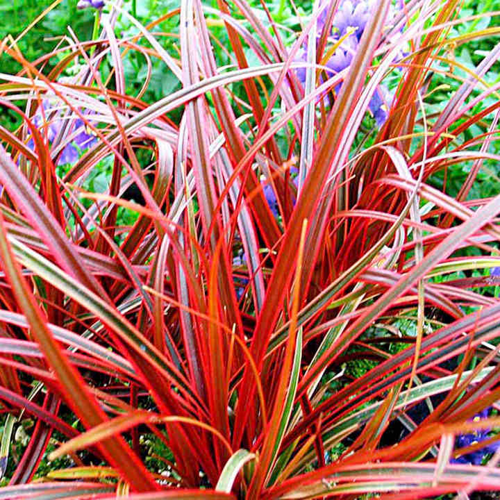 Uncinia rubra Plant - Everflame