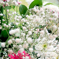 Gypsophila Seeds - Covent Garden Mixed
